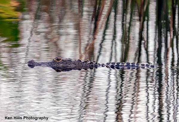Alligator. Celery Fields Preserve.