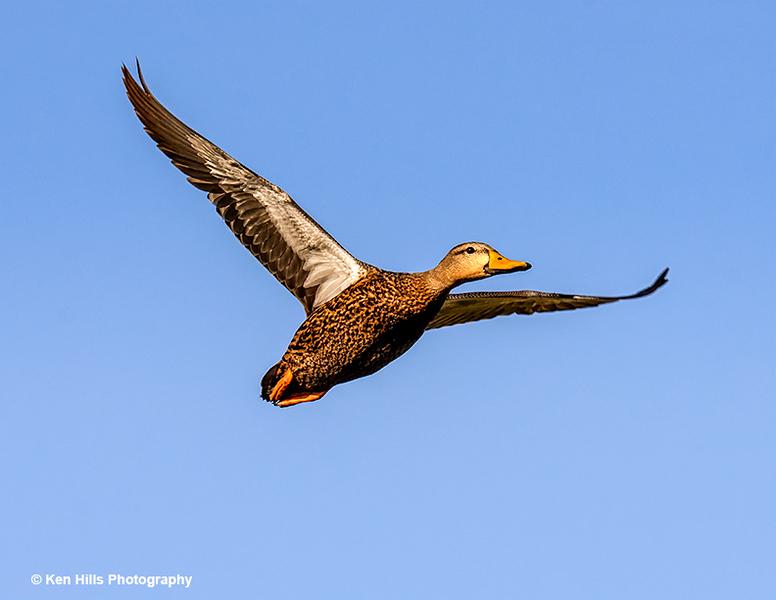 Mottled Duck. Celery Fields Preserve.