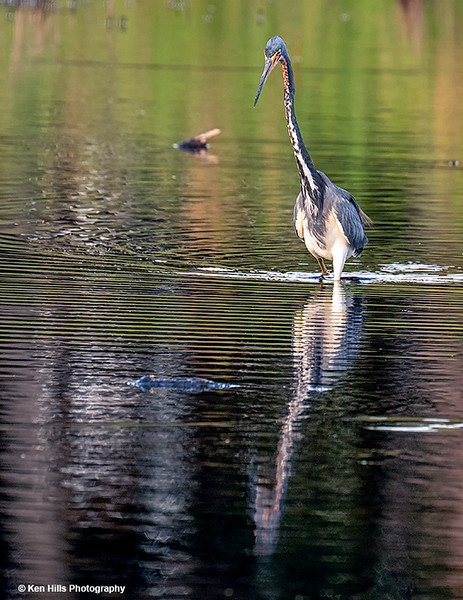 Tri-colored Heron. Myakka River State Park.