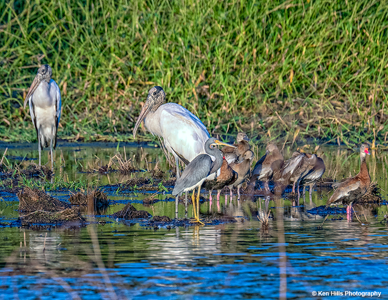 Wood Storks, Tri-colored Heron and Black Bellied Whistling Ducks. Myakka River State Park.