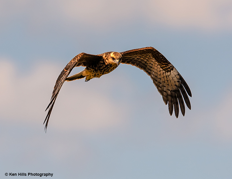 Northern Harrier.  Celery Fields.