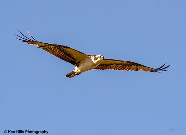 Osprey. Celery Fields Preserve.