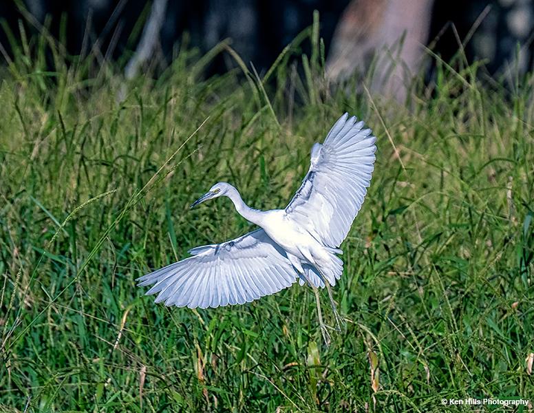 Little Blue Heron (Immature). Myakka River State Park.