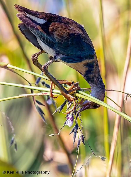 Immature Purple Gallinule. Celery Fields.