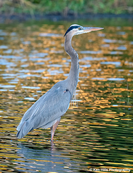 Great Blue Heron. Myakka River State Park.