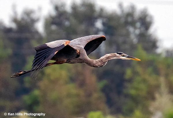 Great Blue Heron. Celery Fields Preserve.
