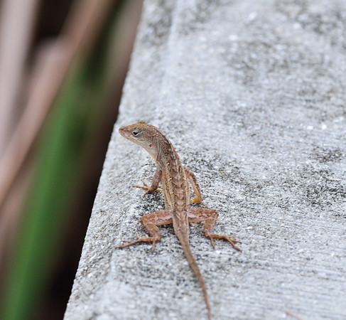 Brown Anole - Port Charlotte