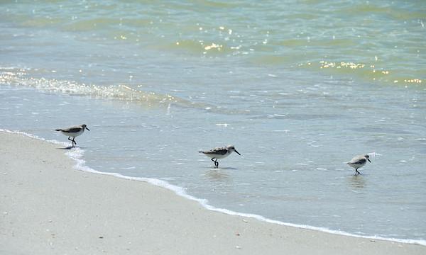Sandpipers - Gasparilla Island