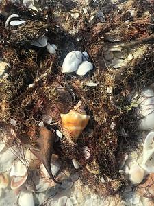 Seashell - Little Hickory Beach