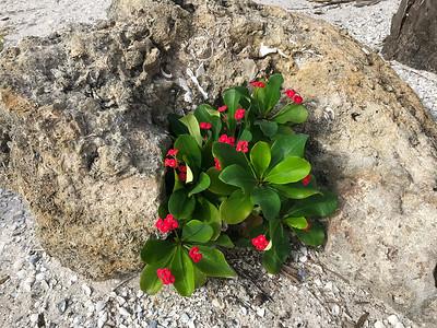 Gasparilla Island - Crown of Thorns