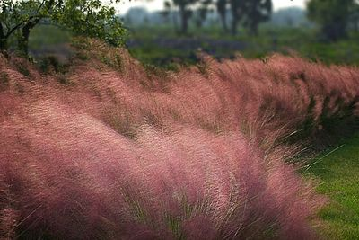 Muhly Grass in the fall  (Largo Nature Preserve)<br /> <br /> There is little I can think of that compares with the sight of these beautiful grasses in bloom.