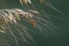 Lopsided Indiangrass (Sorghastrum secundum) (Largo)