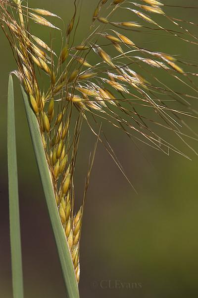 Lopsided Indiangrass (Sorahastrum secundum) (Largo)