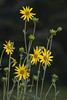 Tall Rosinweed, (Silphium spp.), also called Starry Rosinweed.  A tall sunflower-like native, rosinweed blooms throughout the summer months in my yard, and in one area of bright shade, it has really performed, blooming through most of the winter as well.  This photo is from that area.