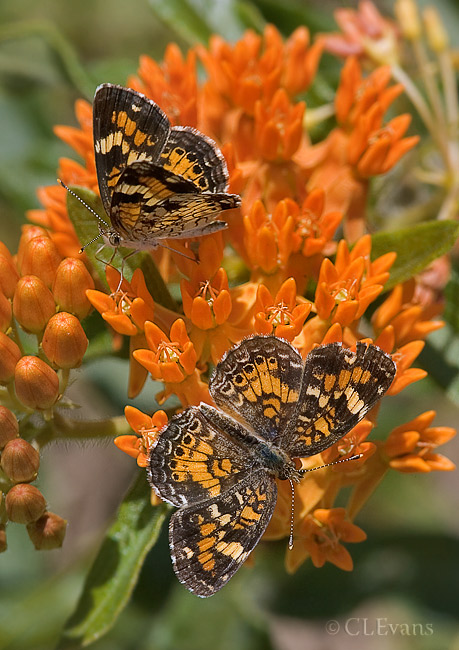 Asclepias tuberosa, aka Butterfly Weed or Orange Milkplant with Phaon Crescent Butterflies in the Ocala National Forest<br /> <br /> Butterfly Weed is a tuberous-rooted perennial that grows throughout Florida. Along with other milkweeds, it is a host plant for Queen, Monarch and other butterflies.  As seen here, it is obviously also a great nectaring plant.  We came upon this small lone plant alongside a road in the Ocala National Forest where it was the main event for these two butterflies.  I have no experience with it so far beyond that -- it does not seem to be readily available for sale.