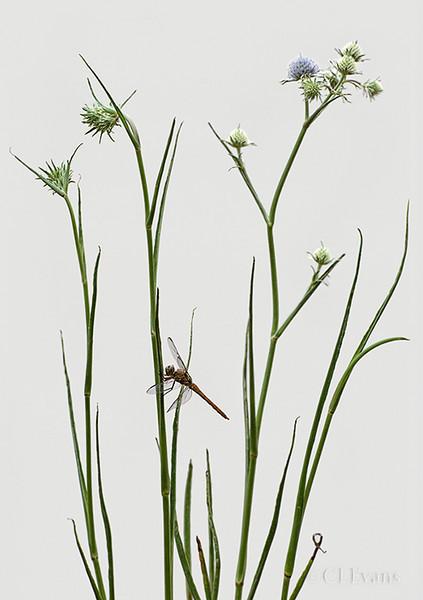 Corn Snakeroot (Eryngium aquaticum) with femal Roseate Skimmer dragonfly (Largo)