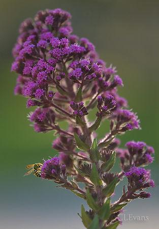 Wildflowers - Carphephorus