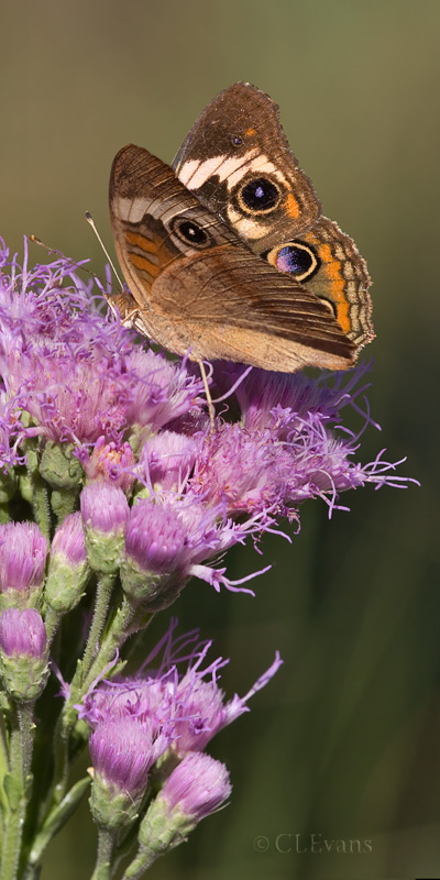 Common Buckeye Butterfly on Florida Paintbrush Flowers