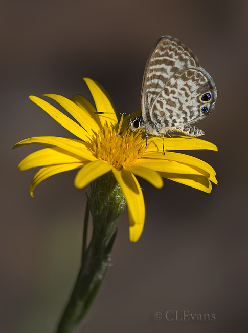 Cassius Blue Butterfly on Golden-Aster Flower