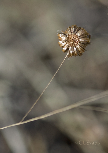 In winter, the dried flower heads of the Golden-Aster can be quite interesting and beautiful.