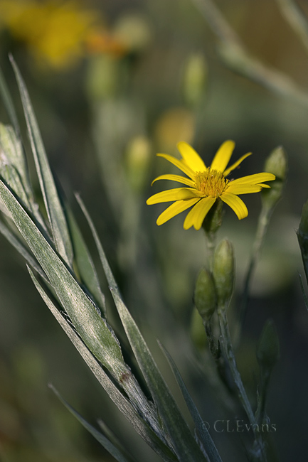 Golden-Aster Flower and Foliage