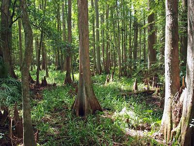 Highlands Hammock State Park, FL