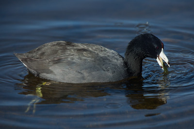 An American Coot splashes in the water at Green Cay Wetlands in Boynton Beach, Florida on Friday, February 26, 2016. (Joseph Forzano / The Palm Beach Post)