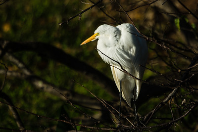 A great egret is illuminated by the morning sun at Wakohatchee Wetlands in  Delray Beach, Florida on Friday, February 26, 2016. (Joseph Forzano / The Palm Beach Post)