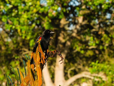 A red winged black bird sits on a tree limb in the morning sun at Wakodahatchee Wetlands in Delray Beach on Wednesday, October 11, 2017. (Joseph Forzano / Deep Creek Films & Photography)