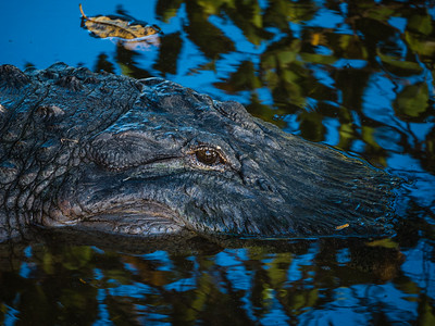 "A large alligator nicknamed ""George"" by locals sits in the shallow waters sunning himself at Wakodahatchee Wetlands in Delray Beach on Wednesday, October 11, 2017.  (Joseph Forzano / Deep Creek Films & Photography)"