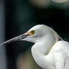 Snowy  Egret Watching