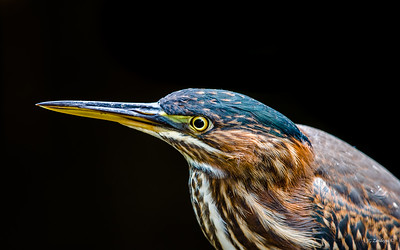 Green Heron Portrait 2