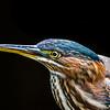 Green Heron Portrait 2