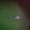 Mabel Orchard Spider on Web