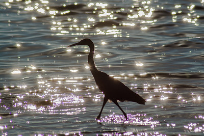 Little Blue Heron Silhouette