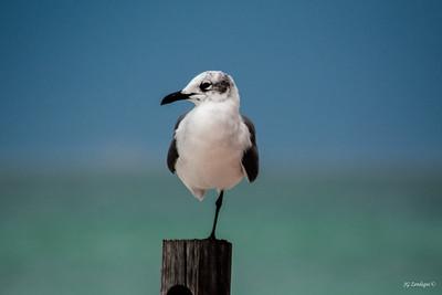 Gull Resting
