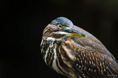 Green Heron Portrait 1