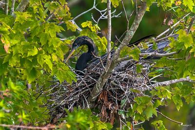 Anhunga Nesting