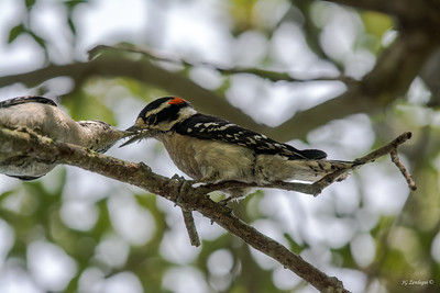 Downy Woodpecker Sharing