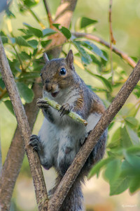 Immodest Squirrel