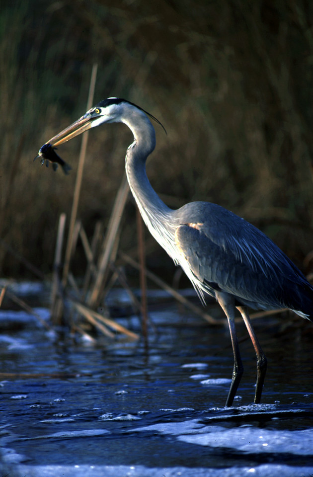 Great blue heron fishing<br /> PHOTO CREDIT: Bart Smith / Florida Trail Association