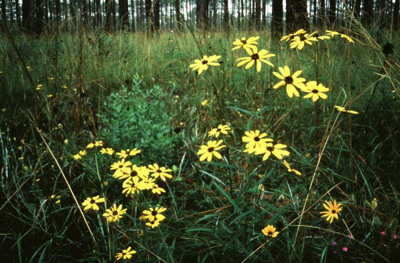 Coreopsis in the wiregrass<br /> PHOTO CREDIT: Bart Smith / Florida Trail Association