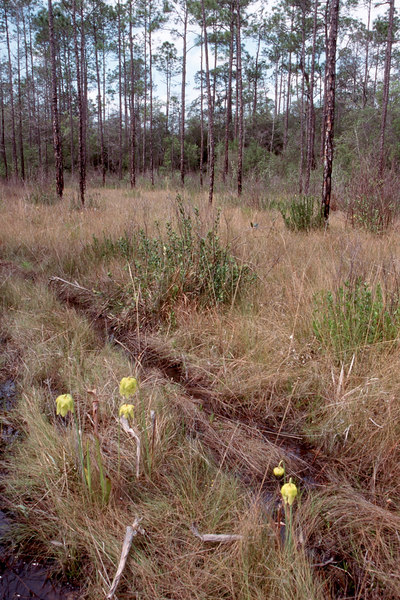 Florida Trail amid the pitcher plant bogs of Memery Island<br /> PHOTO CREDIT: Sandra Friend / Florida Trail Association