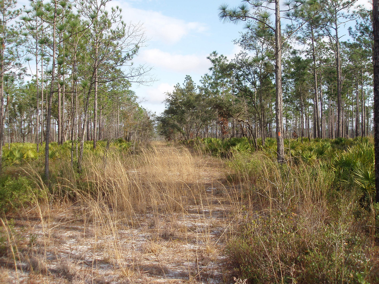 Florida Trail in upland flatwoods<br /> PHOTO CREDIT: Bob Coveney / Florida Trail Association