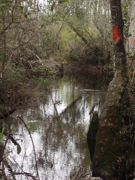 Florida Trail in titi swamp<br /> PHOTO CREDIT: Bob Coveney / Florida Trail Association