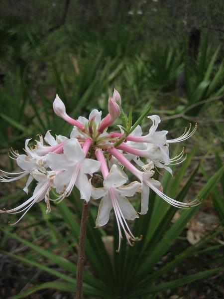 Florida azalea<br /> PHOTO CREDIT: Sandra Friend / Florida Trail Association