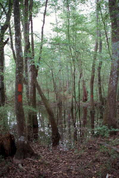 Florida Trail along the floodplain of the Ocklocknee River<br /> PHOTO CREDIT: Sandra Friend / Florida Trail Association