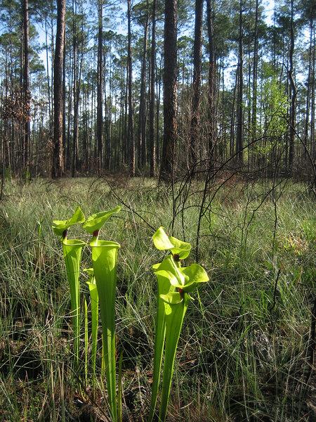 Pitcher plants along the Florida Trail near Camel Lake<br /> PHOTO CREDIT: Sandra Friend / Florida Trail Association