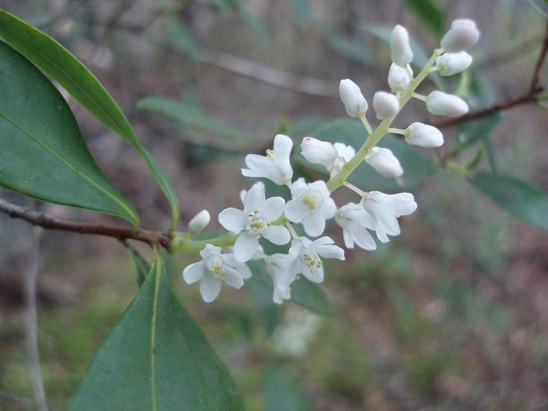 Titi in bloom       <br /> PHOTO CREDIT: Bob Coveney / Florida Trail Association