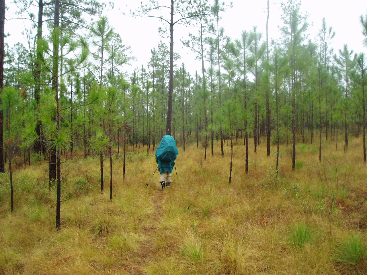 Backpacker in young longleaf pine forest <br /> PHOTO CREDIT: Robert Coveney / Florida Trail Association
